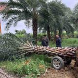 5-8米中东海枣 市场行情 漳州中东海枣价格