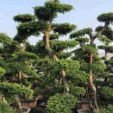 榆树桩多少钱一棵 3米4米5米榆树桩盆景报价