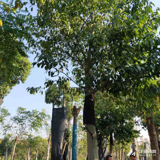 紅果冬青種植基地 低價批發 15公分紅果冬青價格