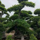 大型榆树桩盆景价格 福建榆树桩盆景产地直销