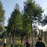 红果冬青产地报价 3-6公分红果冬青树 价格行情