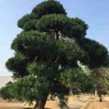 罗汉松造型树价格 基地批发供应 精品造型罗汉松3米报价