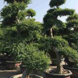 榆树桩价格 榆树桩盆景批发供应基地