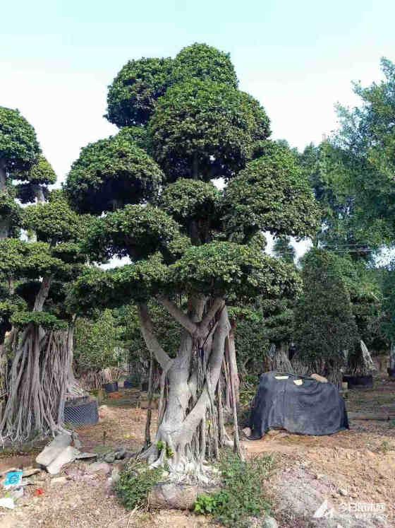 小叶榕造型树多少钱 苗圃出售造型小叶榕 价格便宜