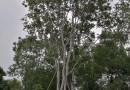 丛生朴树哪里有卖 福建丛生朴树基地批发