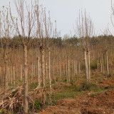 马褂木价格 马褂木种植基地批发供应