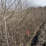 3公分喜树价格 江西产地直销 喜树种植基地