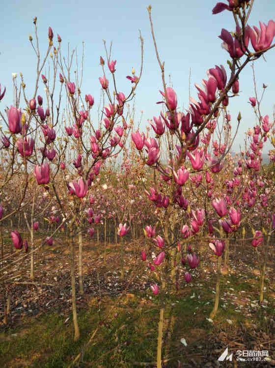 紫玉兰树苗价格行情 苗圃现货大量供应