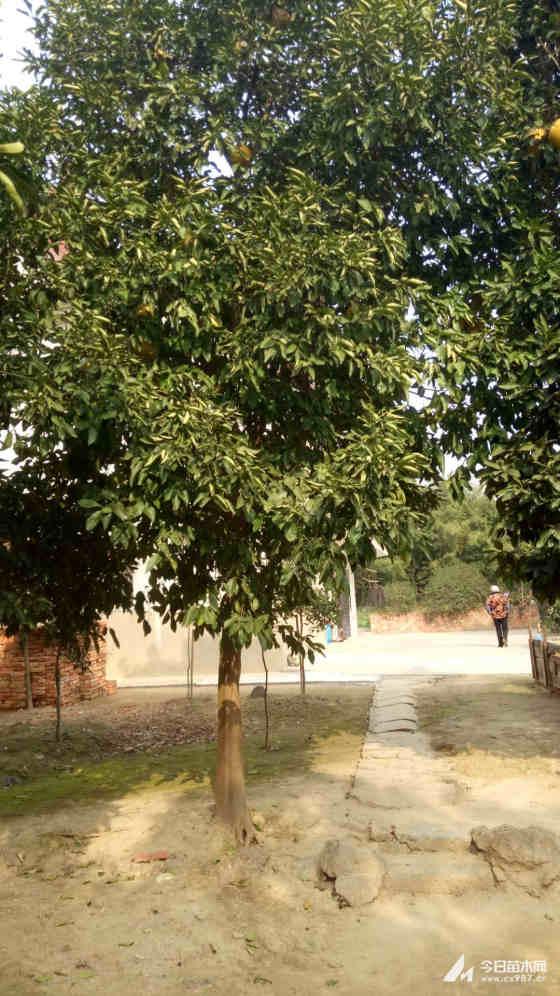 香泡树苗价格 江西香泡树种植基地