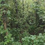 皂角树小苗价格 皂角树基地批发