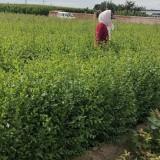 出售一年生白榆树苗