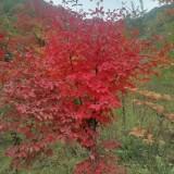3公分血皮槭
