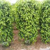 垂叶榕柱子造型苗基地 垂叶榕盆景造型树批发