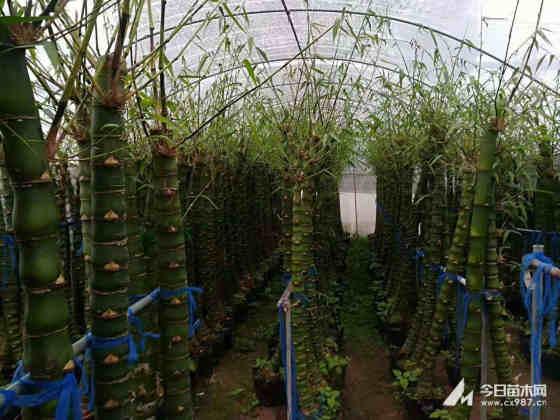 盆栽佛肚竹价格表 佛肚竹产地在哪里