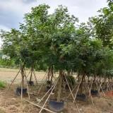 漳州哪里有黄花风铃木 15分黄花风铃木价格