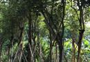 福建黄花风铃木种植基地 广州哪里有黄花风铃木