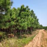 湿地松价格 湿地松基地直销 湿地松批发