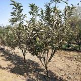 10公分板栗树市场价格 成年板栗树多少钱一棵
