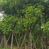 秋枫树苗价格 15公分25公分秋枫树价格