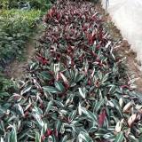 七彩竹芋哪里有卖   福建七彩竹芋苗圃基地