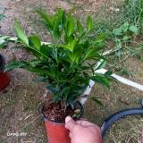 竹柏盆栽小苗批发 竹柏种植基地
