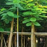 广东哪里有卖凤凰木 8公分35公分凤凰木树苗价格