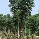黄山栾树基地批发 8公分15公分黄山栾树价格