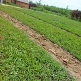 红瑞木苗哪里有卖 江苏1米高红瑞木价格