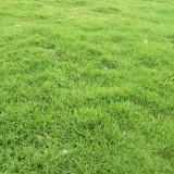 百慕大草坪批发价 百慕大草坪市场价格