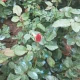 红帽月季小苗哪里有卖 江苏红帽月季批发