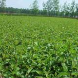 红瑞木小苗价格 优质红瑞木地苗多少钱一棵