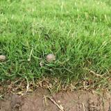 草坪价格表 马尼拉草坪基地批发 马尼拉价格行情