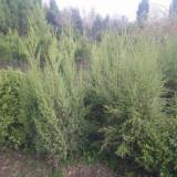 1米2米3米刺柏松苗多钱一颗 刺柏地栽苗哪里有
