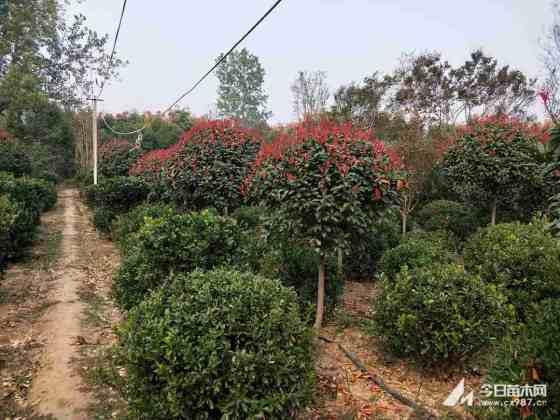 出售绿化树红叶石楠 红叶石楠独杆苗价格