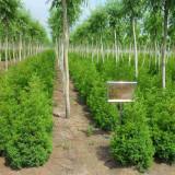 8公分垂柳价格 种植基地 10公分垂柳市场报价
