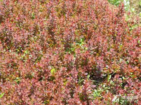 江蘇沭陽紅葉小檗 批發 紅葉小檗小苗價格