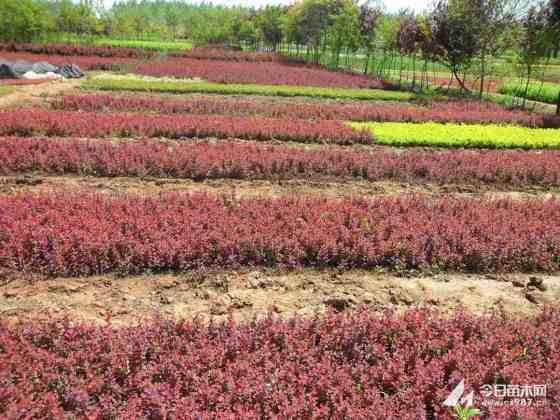紅葉小檗苗價格 紅葉小檗基地出售
