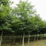枫香苗价格  绿化工程枫香苗批发基地