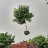 腊肠树假植苗基地批发 全冠腊肠树假植苗价格