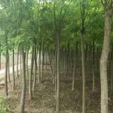 黄金槐树苗大量供应 9公分10公分黄金槐价格