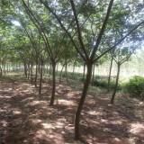 合欢树多少钱一棵  合欢树基地批发报价