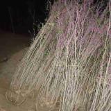 冠幅50公分丛生紫荆多少钱 丛生紫荆苗木低价出售