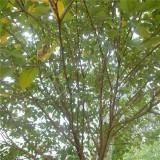构树苗多少钱一棵  构树批发报价