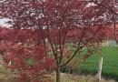 五公分日本红枫多少钱一棵 5公分日本红枫价格