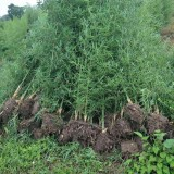 哪里买毛竹种苗 1-2公分毛竹苗批发价格