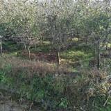 5公分垂丝海棠树价格 绿化树垂丝海棠树苗价格