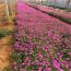 江苏红花酢浆草苗圃基地  红花酢浆草