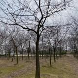 12公分朴树哪里有 江苏胸径12公分朴树价格