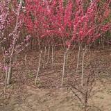 紫叶碧桃苗哪里有卖 江苏5公分紫叶桃价格