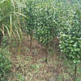 茶花树市场价格 江苏茶花树基地批发价格
